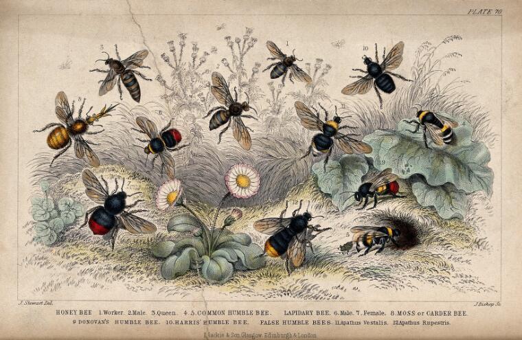 Twelve different species of bees swarming a flowery meadow. Coloured etching by J. Bishop, 1855, after J. Stewart.